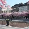Körsbärsträden Kungsträdgården.jpeg