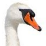 Profile picture of swansaredead