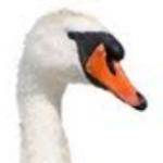 Profile picture of swansaredead