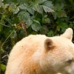Profile picture of Spirit Bear