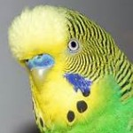 Profile picture of budgie