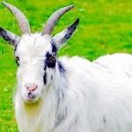 Profile picture of Goatix